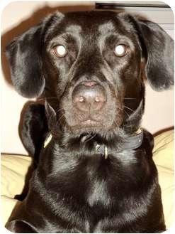 Labrador Retriever/Border Collie Mix Dog for adoption in Long Beach, New York - Candy
