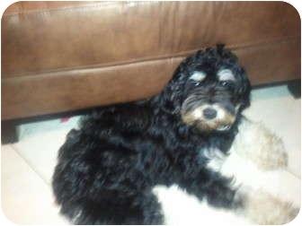 Schnauzer (Miniature)/Poodle (Miniature) Mix Dog for adoption in Pembroke pInes, Florida - Charlie