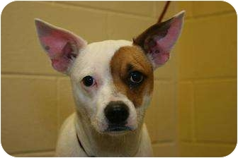 Jack Russell Terrier Mix Dog for adoption in Clarksville, Tennessee - Phantom