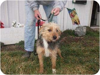 Yorkie, Yorkshire Terrier Mix Dog for adoption in mishawaka, Indiana - Dutt - PAWMART