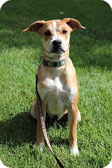 Boxer Mix Puppy for adoption in Tracy, California - Sully