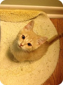 Domestic Shorthair Kitten for adoption in Vero Beach, Florida - Charlie
