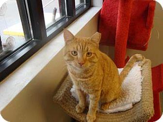 Domestic Shorthair Cat for adoption in Gainesville, Florida - Tango