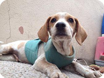 Dachshund/Beagle Mix Puppy for adoption in San Diego, California - Buddy