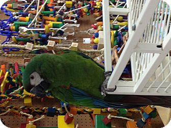 Macaw for adoption in Punta Gorda, Florida - Kelsey