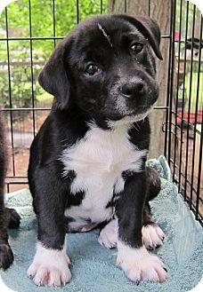 Labrador Retriever Mix Puppy for adoption in Richmond, Virginia - Panszee
