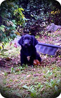 Dachshund/Labrador Retriever Mix Puppy for adoption in East Hartford, Connecticut - Skeeter-pending adoption