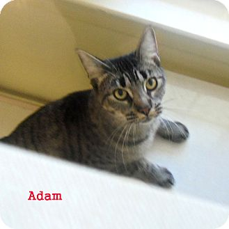 Domestic Shorthair Kitten for adoption in Slidell, Louisiana - Adam