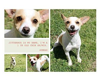 Chihuahua Mix Dog for adoption in Lufkin, Texas - Jitterbug