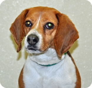 Beagle Dog for adoption in Port Washington, New York - Cannoli