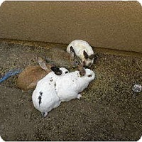 Adopt A Pet :: Snow White - Mission Viejo, CA