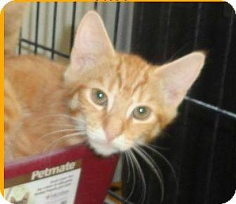 Domestic Shorthair Cat for adoption in Cary, North Carolina - Theo