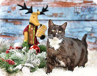 Domestic Shorthair Cat for adoption in El Dorado Hills, California - Sonya