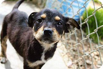 Rottweiler Mix Puppy for adoption in Orangeburg, South Carolina - Kingston