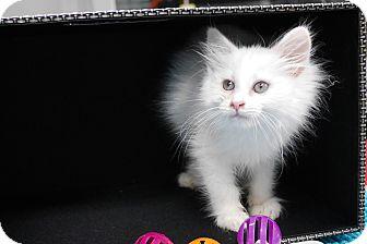 Domestic Longhair Kitten for adoption in Montclair, California - Phelan
