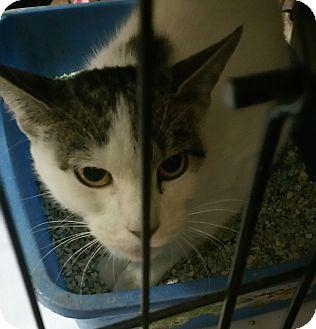 Domestic Mediumhair Cat for adoption in Bronx, New York - GeeGee