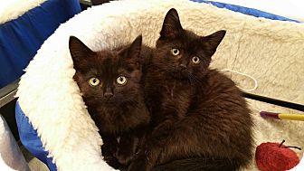 Domestic Shorthair Cat for adoption in Warren, Michigan - Olivia