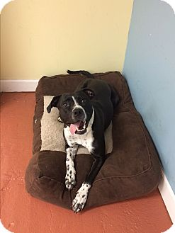 Hound (Unknown Type)/Pit Bull Terrier Mix Dog for adoption in levittown, New York - Ellie