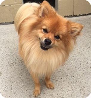 Pomeranian Dog for adoption in Oswego, Illinois - Sherlock and Holmes (Bonded)