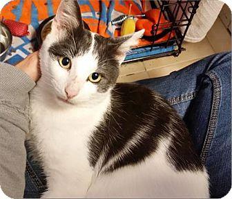 Domestic Shorthair Cat for adoption in Freeport, New York - Sam