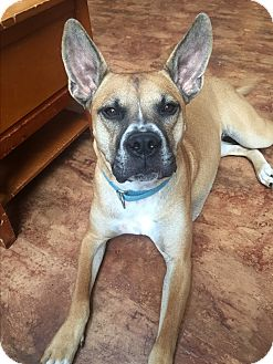 Boxer/Shepherd (Unknown Type) Mix Dog for adoption in Morgantown, West Virginia - Kyla