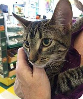 Domestic Shorthair Kitten for adoption in Lombard, Illinois - Leia