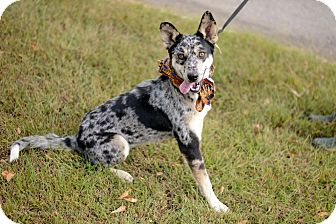 Australian Cattle Dog Mix Dog for adoption in Muldrow, Oklahoma - Tarrah