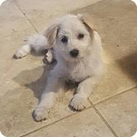 Adopt A Pet :: Chaba - Rockwall, TX