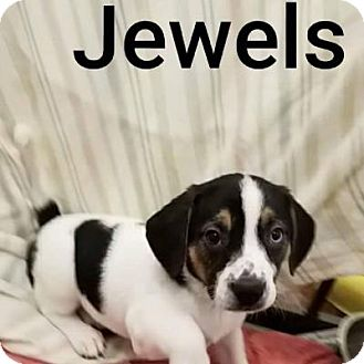 Beagle Mix Puppy for adoption in Plainfield, Illinois - Jewels