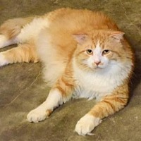 Domestic Mediumhair Cat for adoption in Hammond, Louisiana - Grover