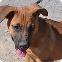 Shepherd (Unknown Type)/Mastiff Mix Puppy for adoption in Pahrump, Nevada - Hulk