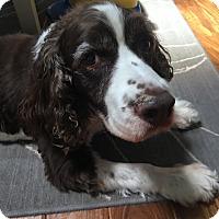 Adopt A Pet :: Bogey - Leesburg, VA