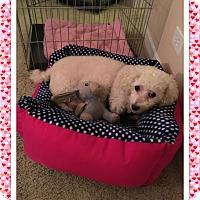 Adopt A Pet :: Diva - MI - Tulsa, OK
