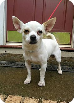 Chihuahua Dog for adoption in Lawrenceville, Georgia - Charlie