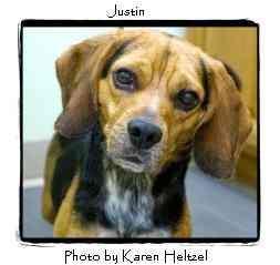 Beagle Mix Dog for adoption in Warren, Pennsylvania - Justin