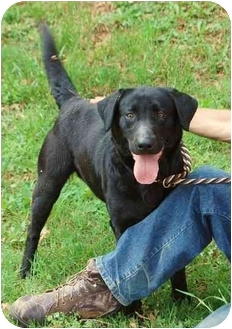 Labrador Retriever Mix Dog for adoption in Inman, South Carolina - Rachel