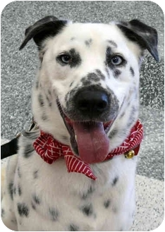 Dalmatian/Australian Shepherd Mix Dog for adoption in Sacramento, California - Tirzah blue eyes