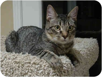 Domestic Shorthair Cat for adoption in Hendersonville, Tennessee - JACKSON - Adopted!