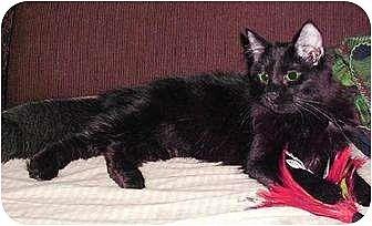 Domestic Mediumhair Cat for adoption in Cypress, Texas - Goblin