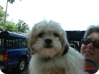 Lhasa Apso Dog for adoption in Cranford, New Jersey - Macy