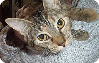 Domestic Shorthair Cat for adoption in Brooklyn, New York - Marble