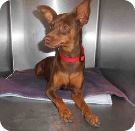 Miniature Pinscher Mix Dog for adoption in Yuba City, California - 10/11 Chocolate