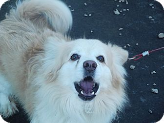 Corgi/American Eskimo Dog Mix Dog for adoption in Coudersport, Pennsylvania - JUNIOR