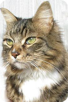 Domestic Longhair Cat for adoption in Cardwell, Montana - BJ