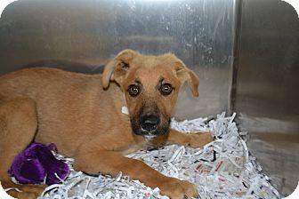 Shepherd (Unknown Type) Mix Dog for adoption in Edwardsville, Illinois - Kibbles
