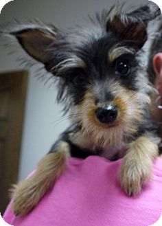 Yorkie, Yorkshire Terrier Mix Puppy for adoption in Baton Rouge, Louisiana - Scruffy