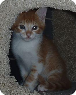 Domestic Mediumhair Kitten for adoption in Acushnet, Massachusetts - Clyde