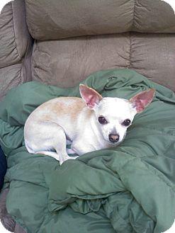 Chihuahua Dog for adoption in Richmond, Virginia - Max