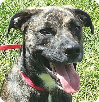 Dutch Shepherd/Boxer Mix Dog for adoption in Orlando, Florida - JR