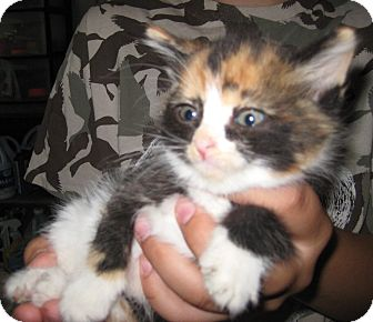 Domestic Longhair Kitten for adoption in Florence, Indiana - Clove
